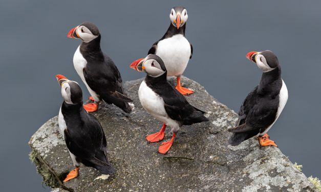 7 Puffin GIfts for people potty about puffins